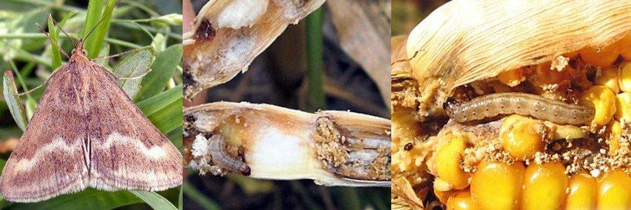 Поля в запорожской области атаковали кукурузные мотыльки: в чем опасность ► последние новости