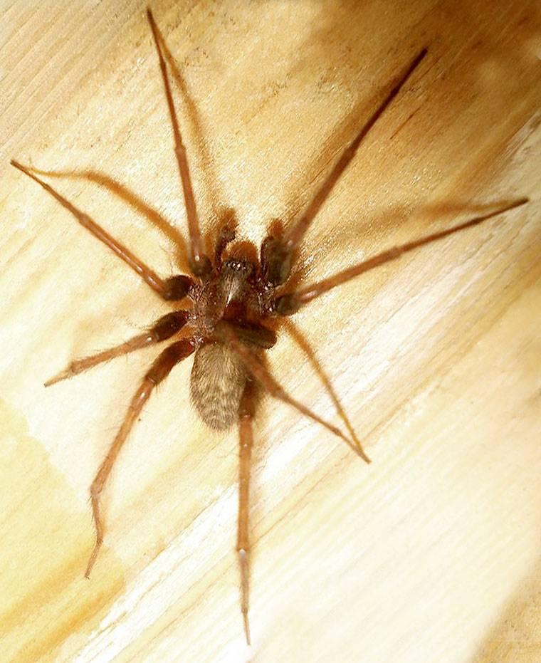 Домовой паук (комнатный): фото и описание, сколько живёт, опасен ли укус для человека