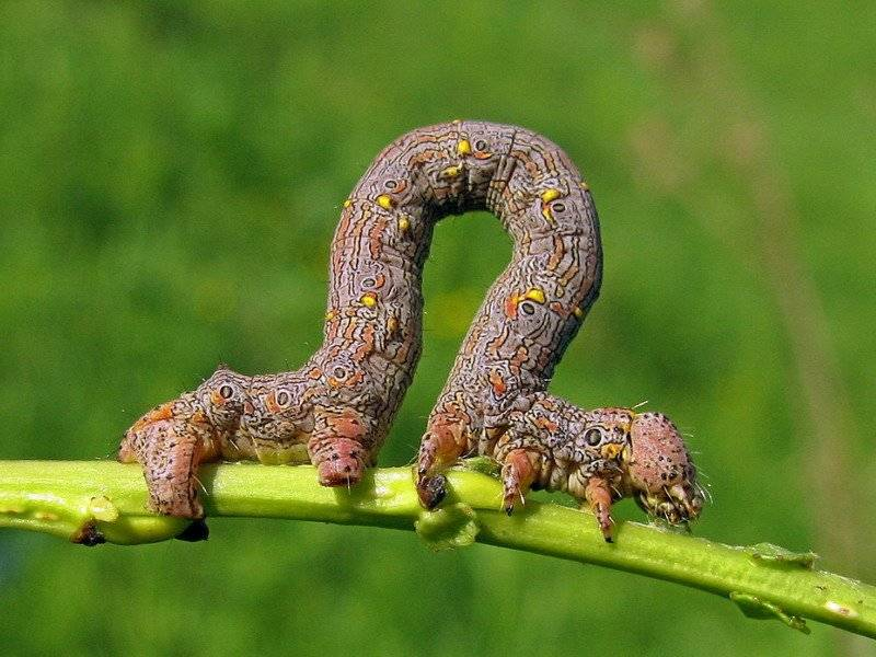 Березовая пяденица – вред от гусениц и меры борьбы