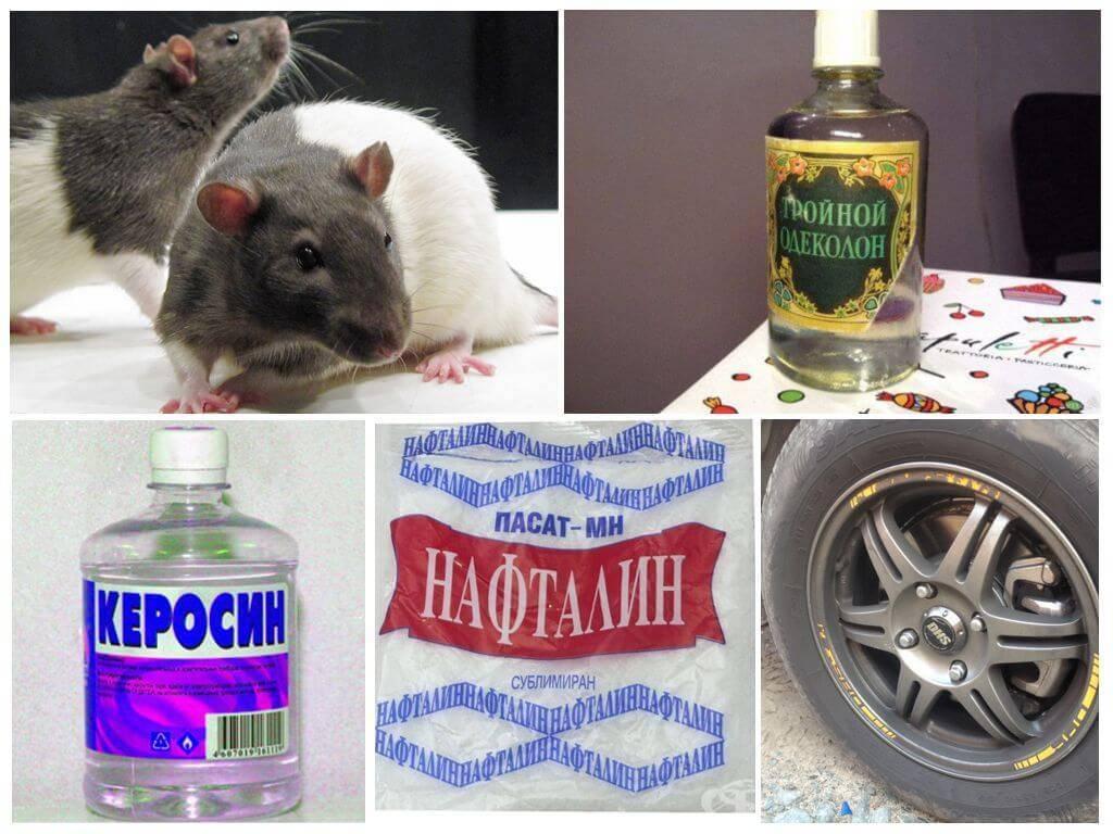 Какую траву боятся мыши: поможет ли пижма, полынь, багульник, мята