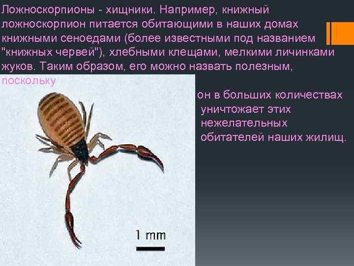 Ложноскорпион жук с клешнями как у скорпиона