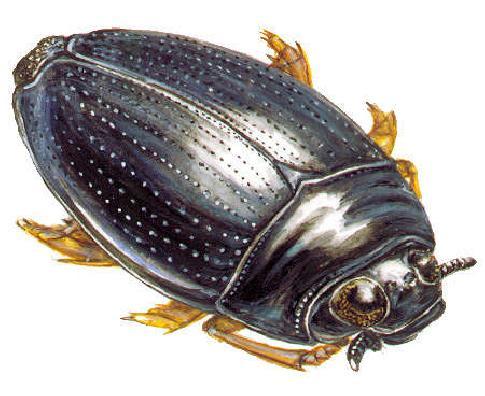 Жук плавунец - фото, описание, чем питается, строение тела и среда обитания