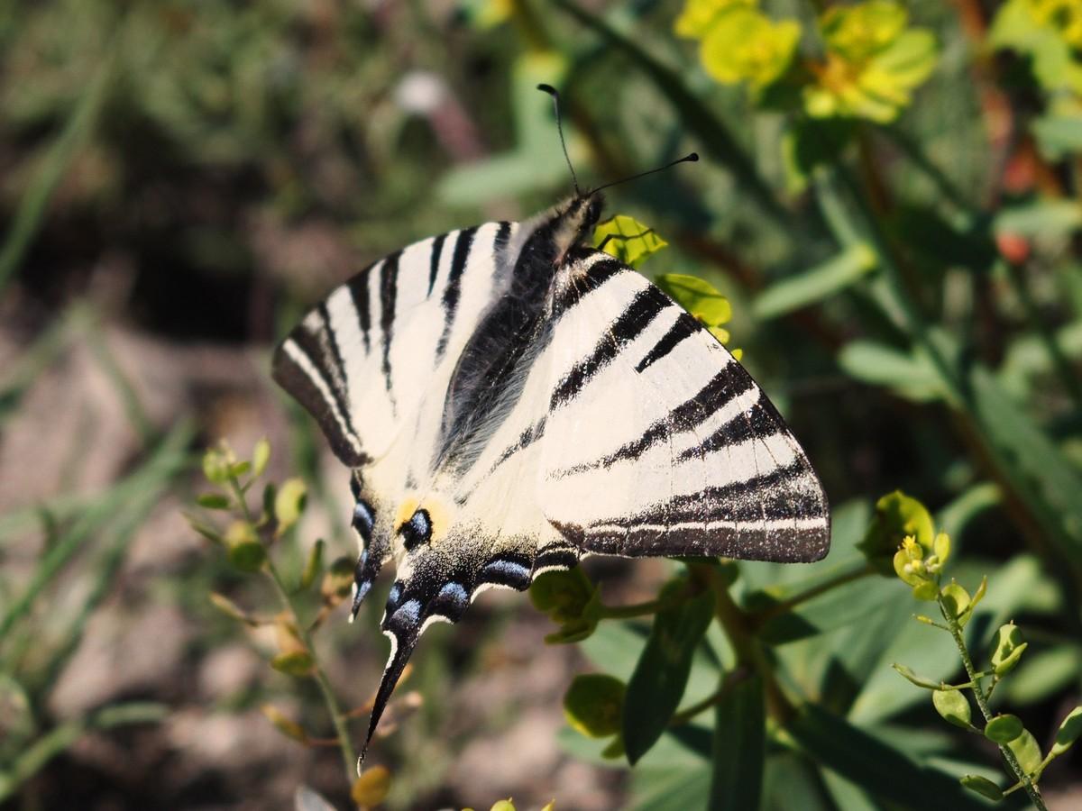 Подалирий (бабочка) википедия