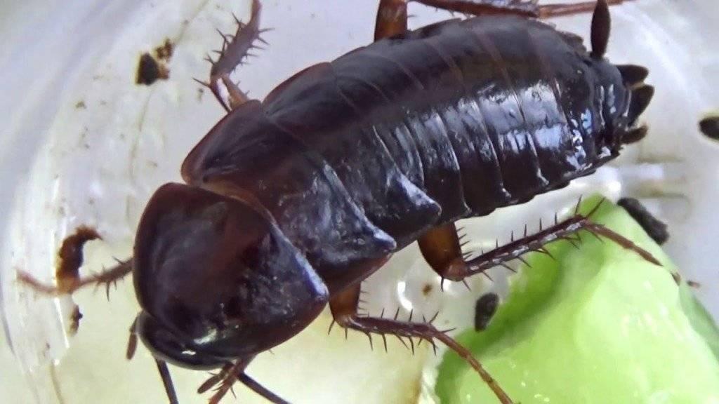Рыжие тараканы: как избавиться от паразитов
