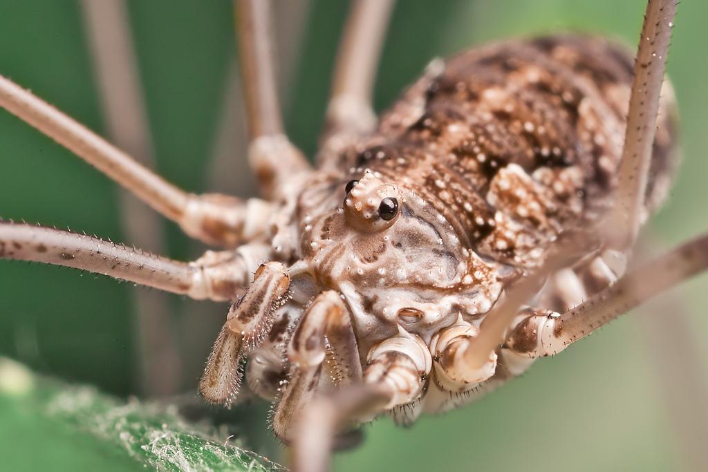 Гигантский крабовый-паук: внешний вид и опасность для человека