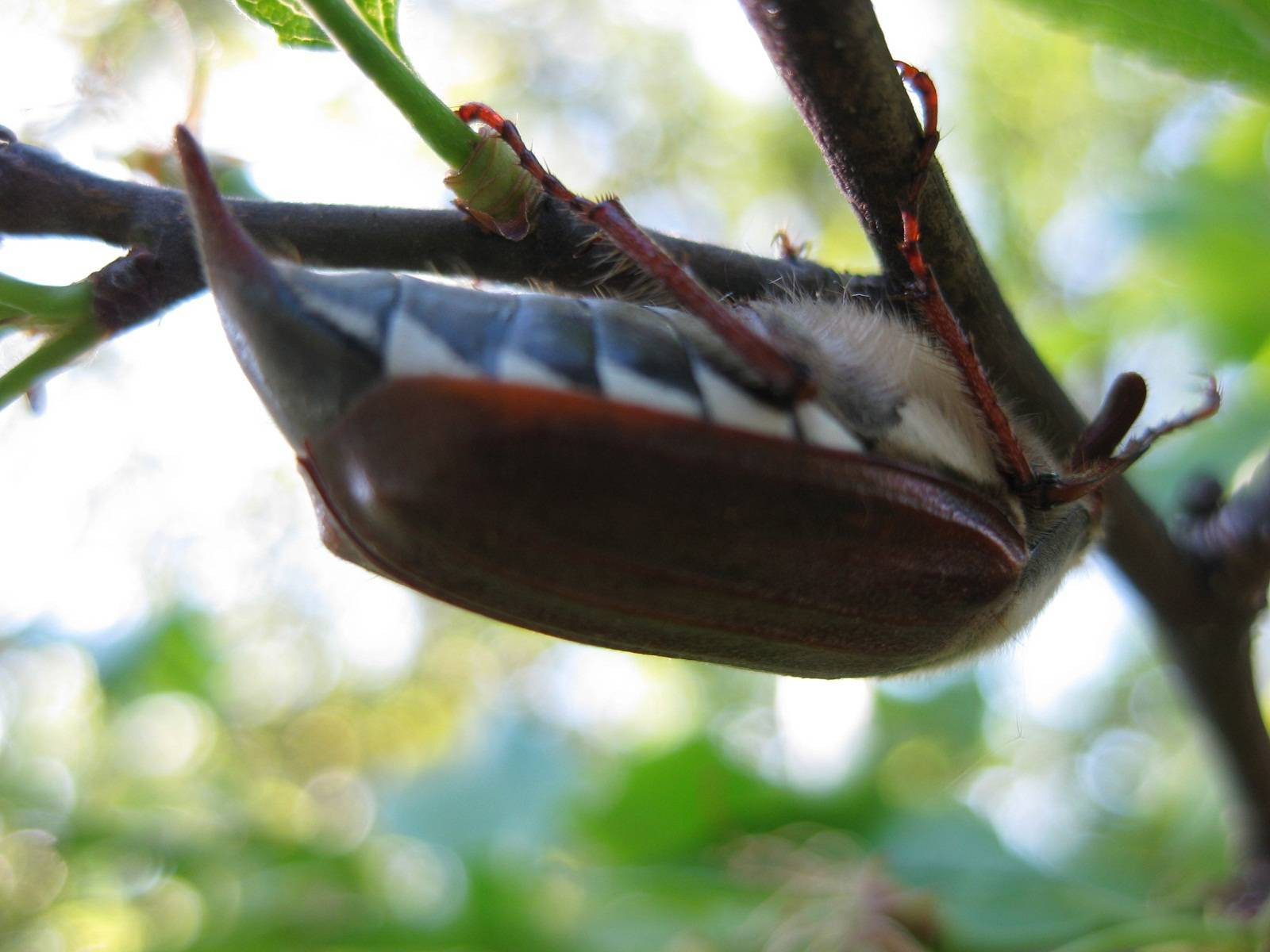 К чему снится майский жук? сонник подскажет ответ