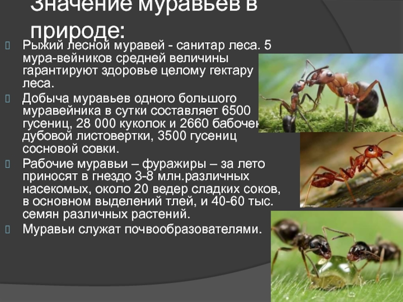 Строение муравья – внешняя и внутренняя анатомия