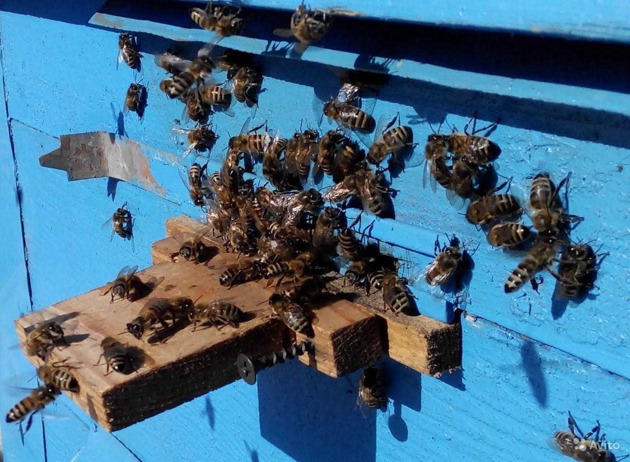 Что делать если муравьи поселились в улье и как от них избавиться на пасеке