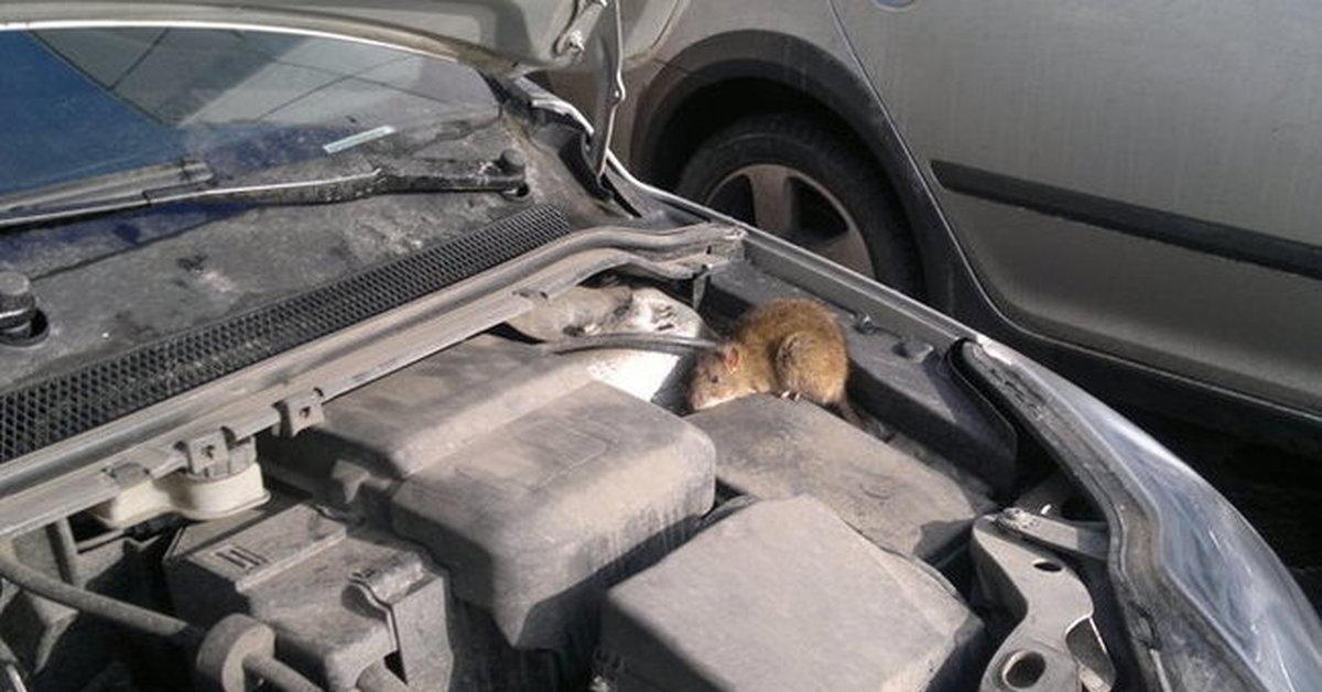 Завелась мышь в машине: что делать и как поймать