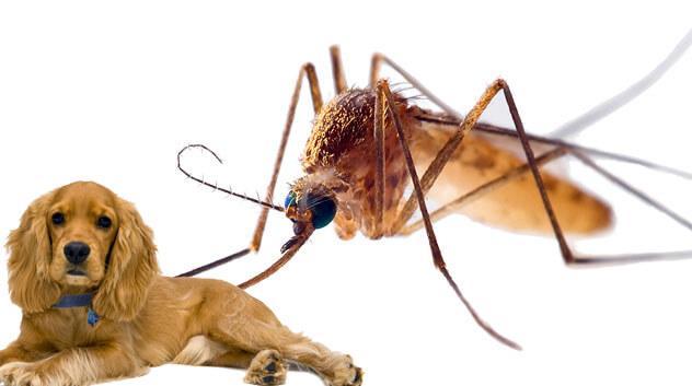 Может ли собаку укусить комар. что делать, если собаку покусали комары и мошки. профилактика укусов комаров у собак