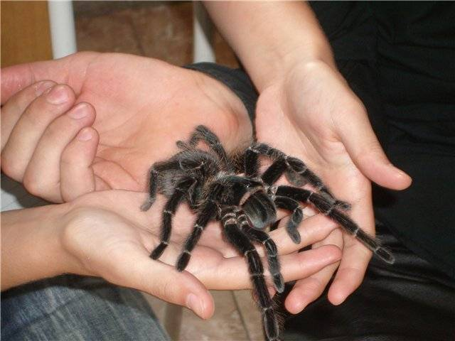 Птицееды-пауки: содержание в домашних условиях. виды пауков-птицеедов