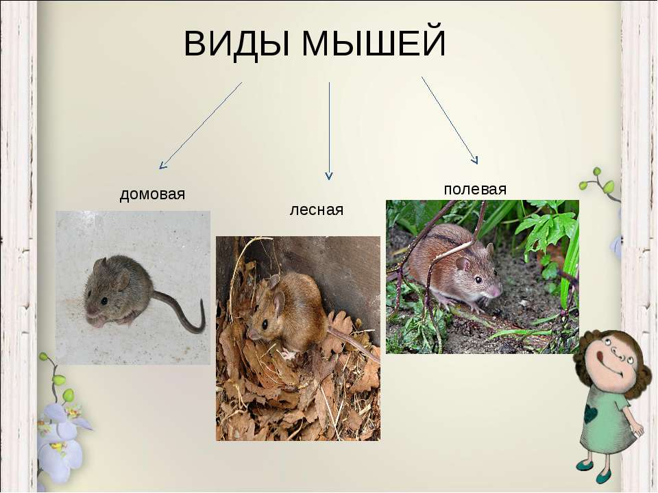 Виды мышей с фото и названиями: домовая, иглистая, черная, белая, серогорбая, земляная, ушастая и другие