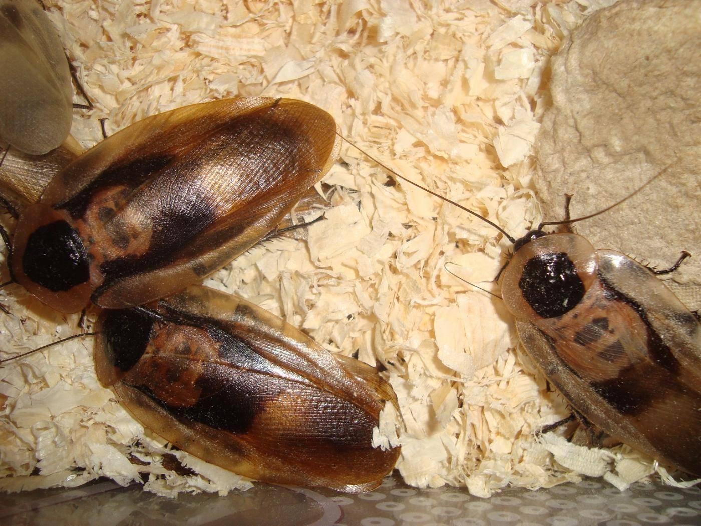Туркменский таракан или завтрак чемпиона для вашего экзотического питомца