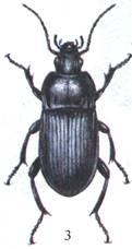 Красотел пахучий – охотник на гусениц