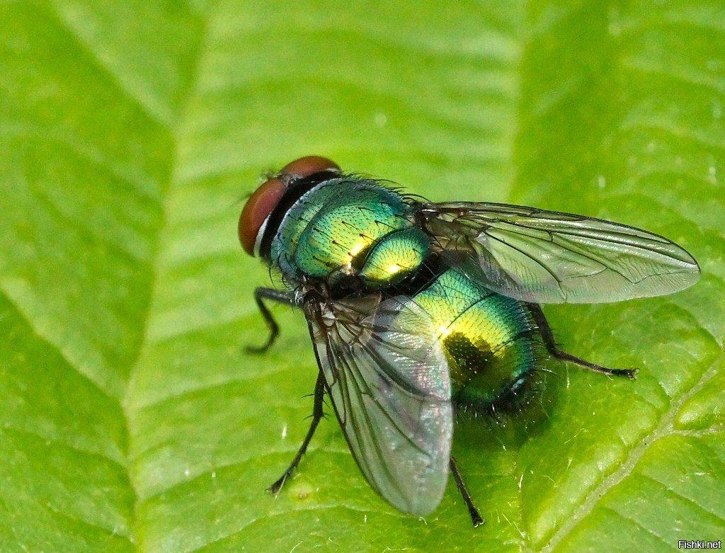 Зачем мухи потирают передние лапки. зачем муха потирает лапки? почему мухи не падают с зеркала