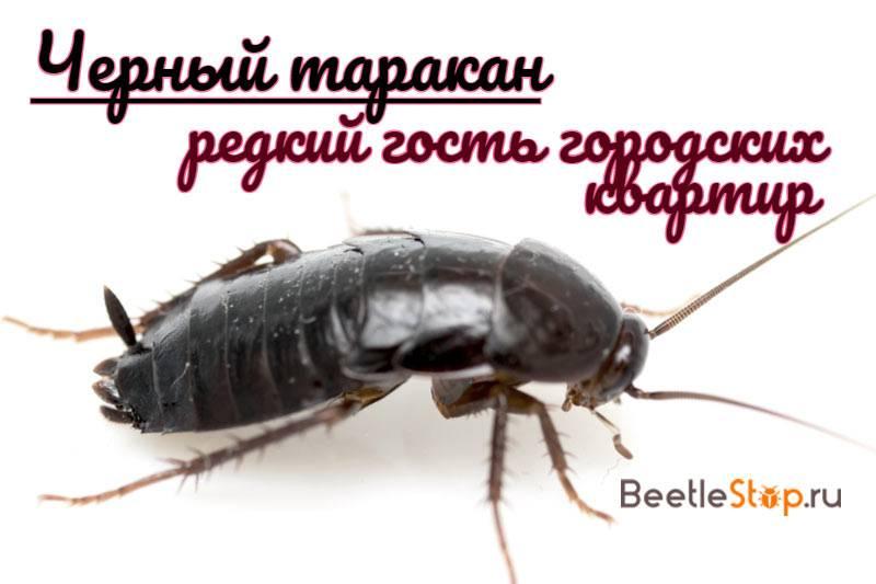 Черные тараканы в квартире как избавиться: 6 народных и 4 профессиональных средства