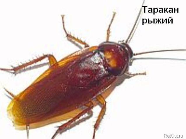 Чем опасны тараканы в квартире для человека и для людей