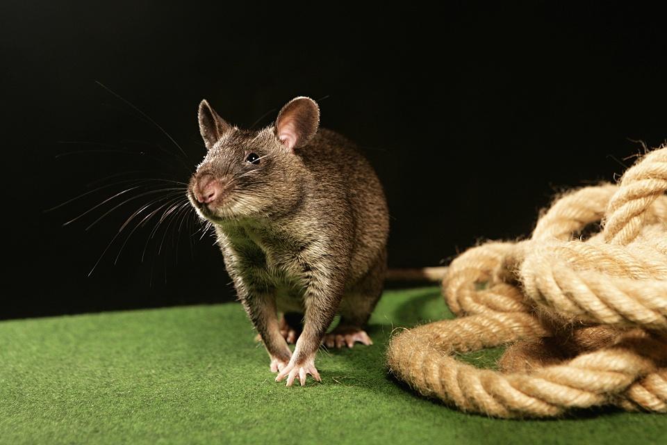 Сумчатая крыса: виды, описание