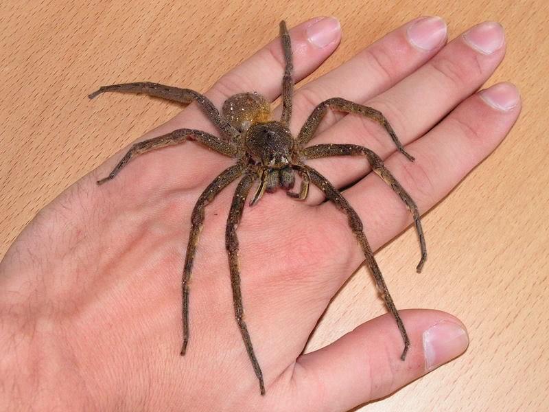 Бразильский странствующий паук, или банановый паук