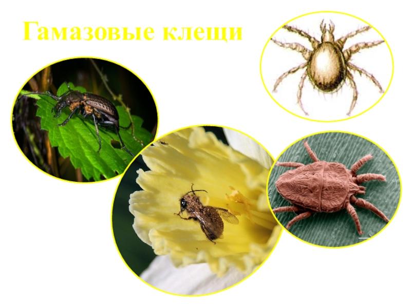 Гамазовый клещ: внешний вид, жизненный цикл развития, среда обитания, как избавиться от паразитов в квартире, профилактика их появления