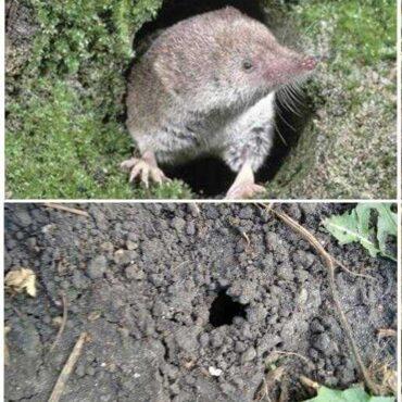 Бурозубка животное. образ жизни и среда обитания бурозубки | животный мир