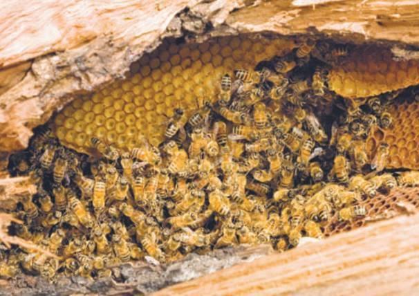 Пчела карника: описание породы с фото, характеристика и особенности, отзывы владельцев, недостаток и преимущество