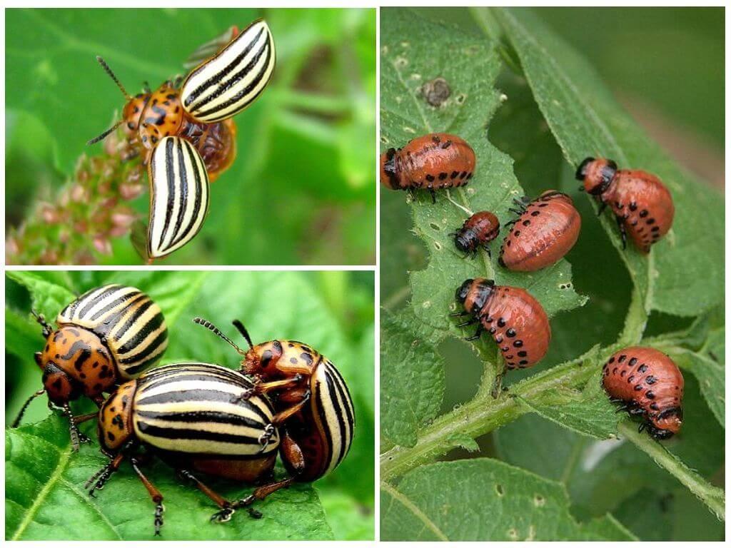 Колорадский жук насекомое. описание, особенности, образ жизни и среда обитания жука | живность.ру