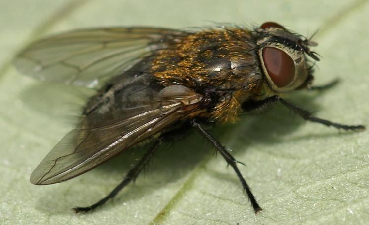 Комнатная муха: фото и описание