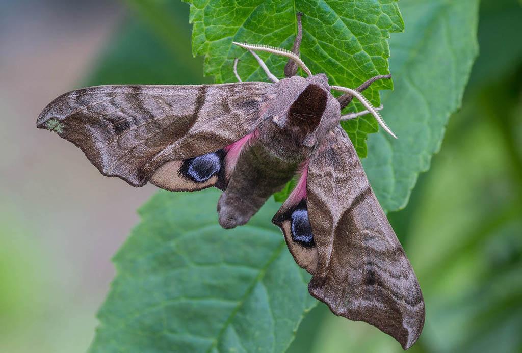 Гусеница бражника - фото и описание