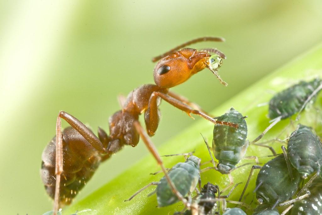 Муравьи и тля - какие взаимоотношения? | фазенда рф