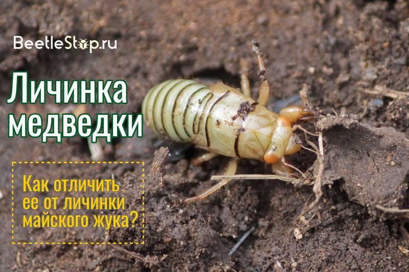 В чем отличие личинки майского жука и медведки - фото и описание