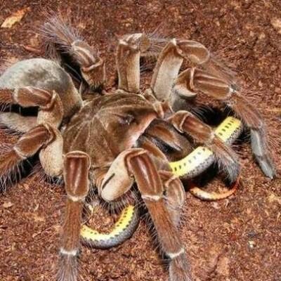 Терафоза блонда или паук-птицеед – самый большой паук в мире