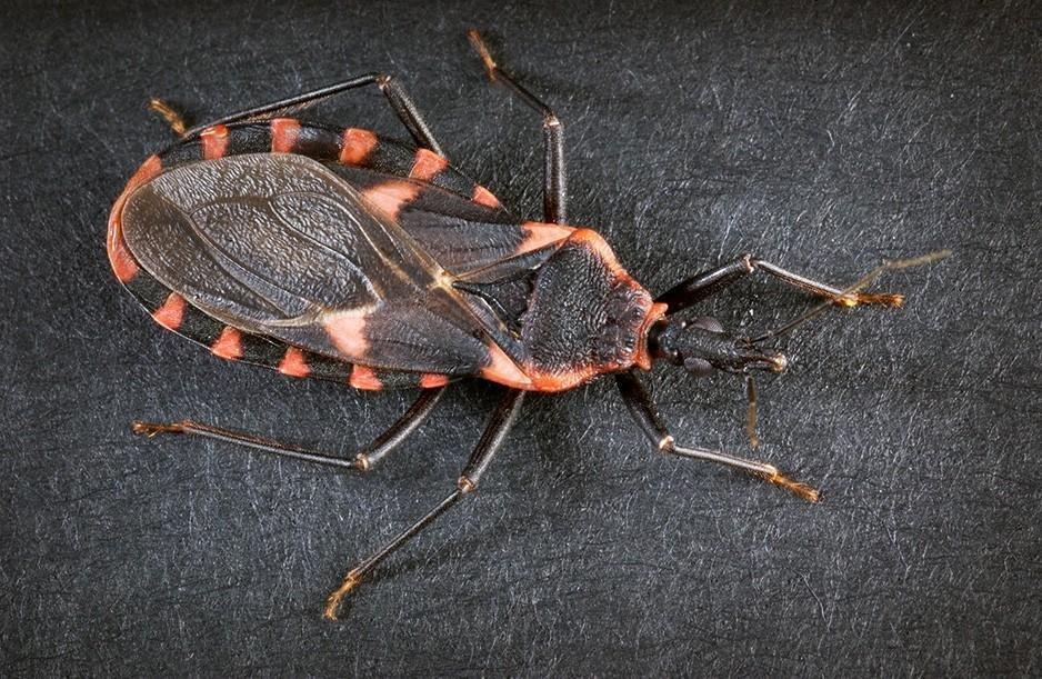 Клопы-триатомины, идентификация опасного вредителя