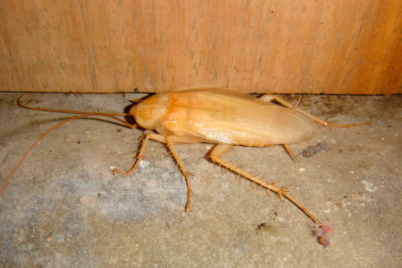 Как избавиться от белых тараканов-альбиносов в квартире?
