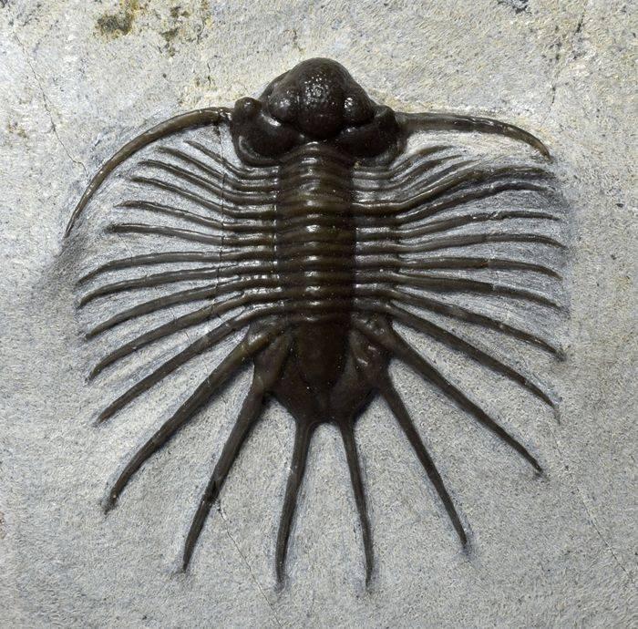 Жук-трилобит (platerodrilus)