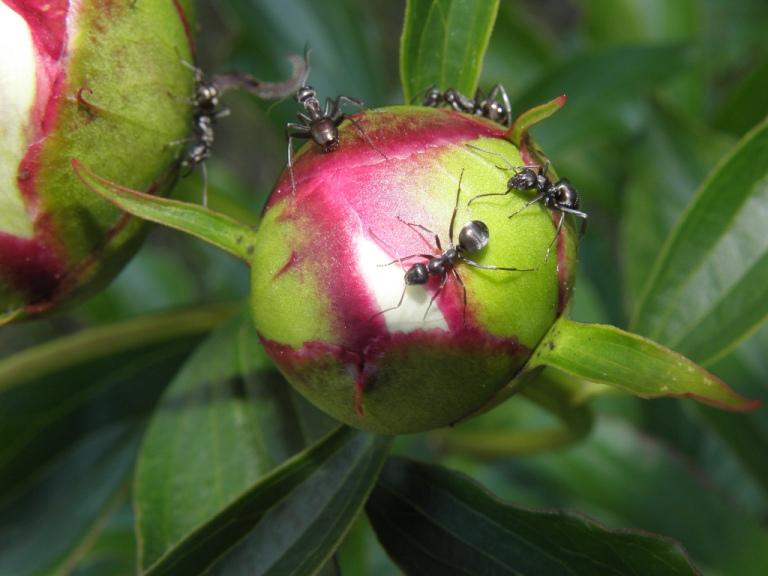 Муравьи на пионах — как избавиться, чем обработать от вредителей