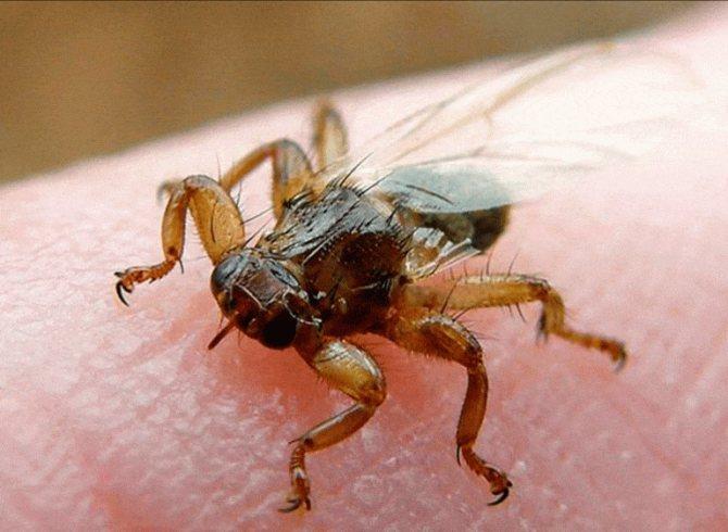 Лосиная муха – фото, описание, чем опасна