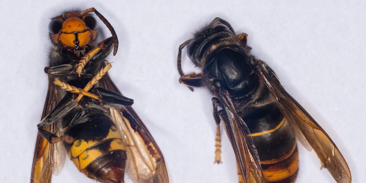 Правда про то, как осы и пчелы делают мед