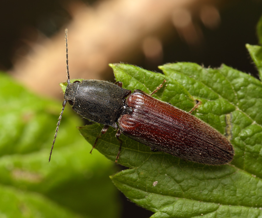 Проволочник в картошке: фото жука-щелкуна и личинок, а также как от него избавиться? русский фермер