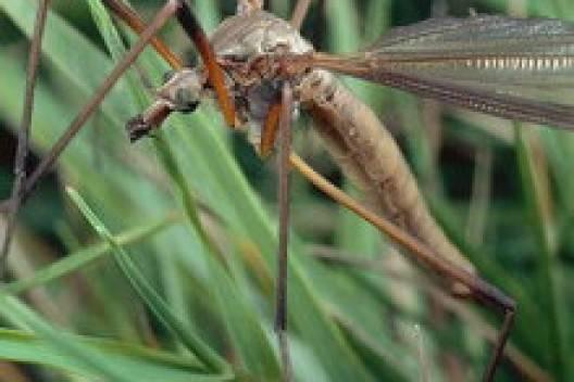 Комар-долгоножка: кусается ли, чем питается, поведение в природе