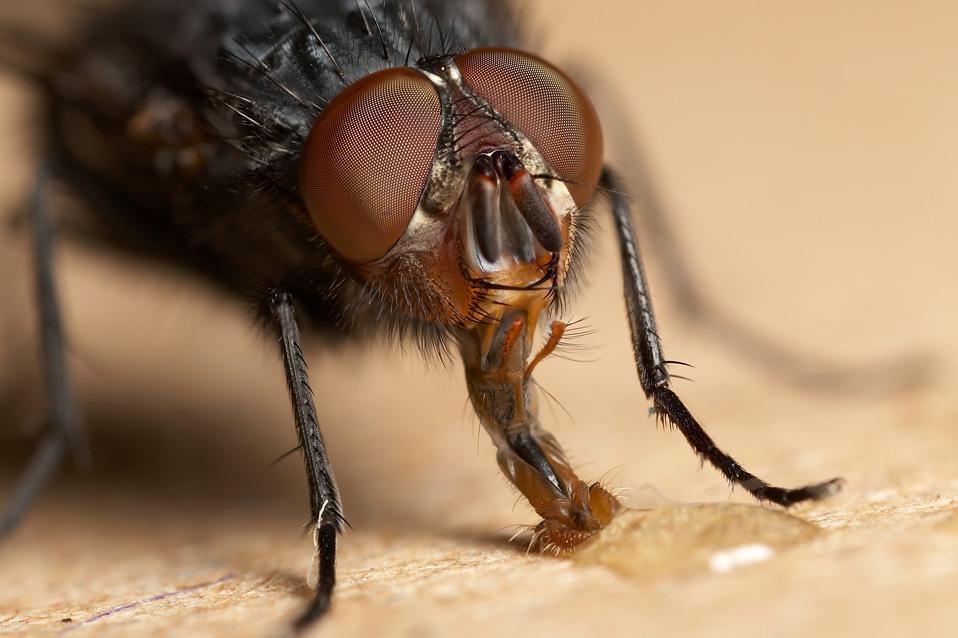 Питание домашних мух: как продукты предпочитают насекомые?