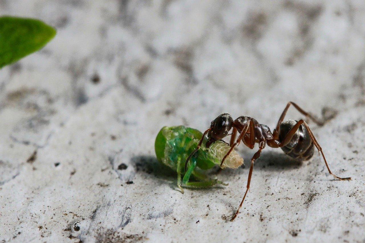 Как избавиться от муравьёв с крыльями в доме (вывести летающих)
