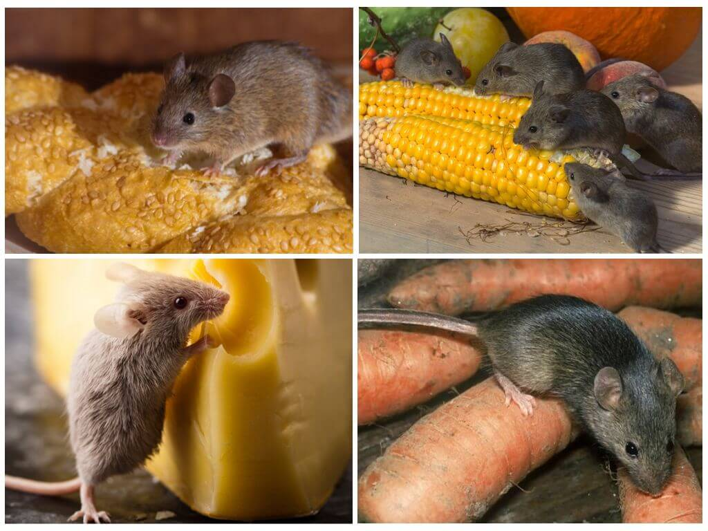 Как отличить мышь от крысы: основные признаки 2021