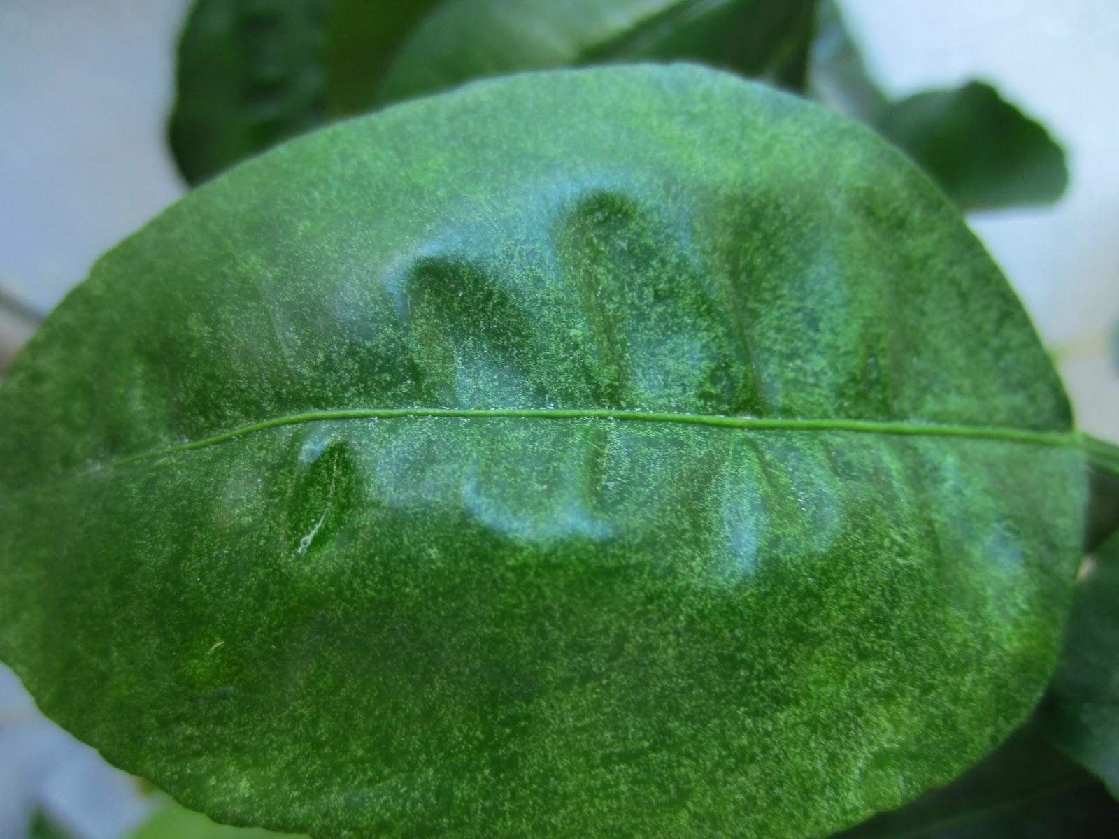 Вредители домашнего комнатного лимона: на фото тля, щитовка, паутинный клещ, как бороться