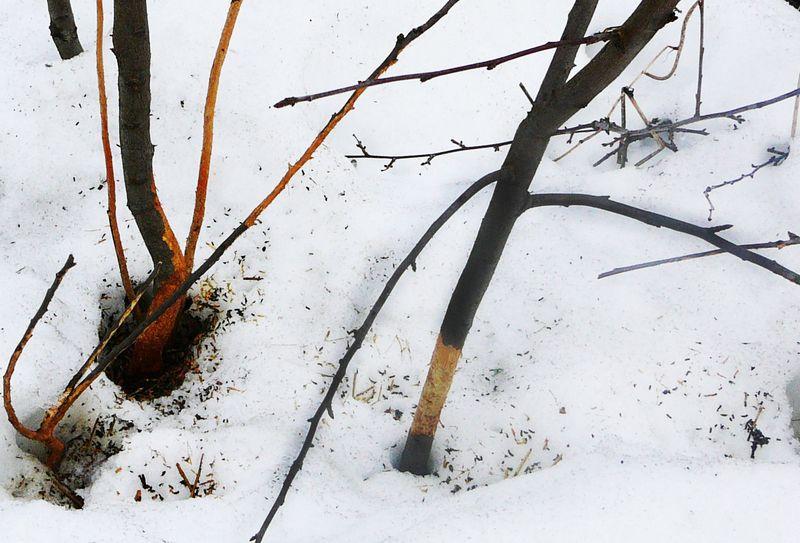 Мыши погрызли яблоню - что делать и как спасти дерево