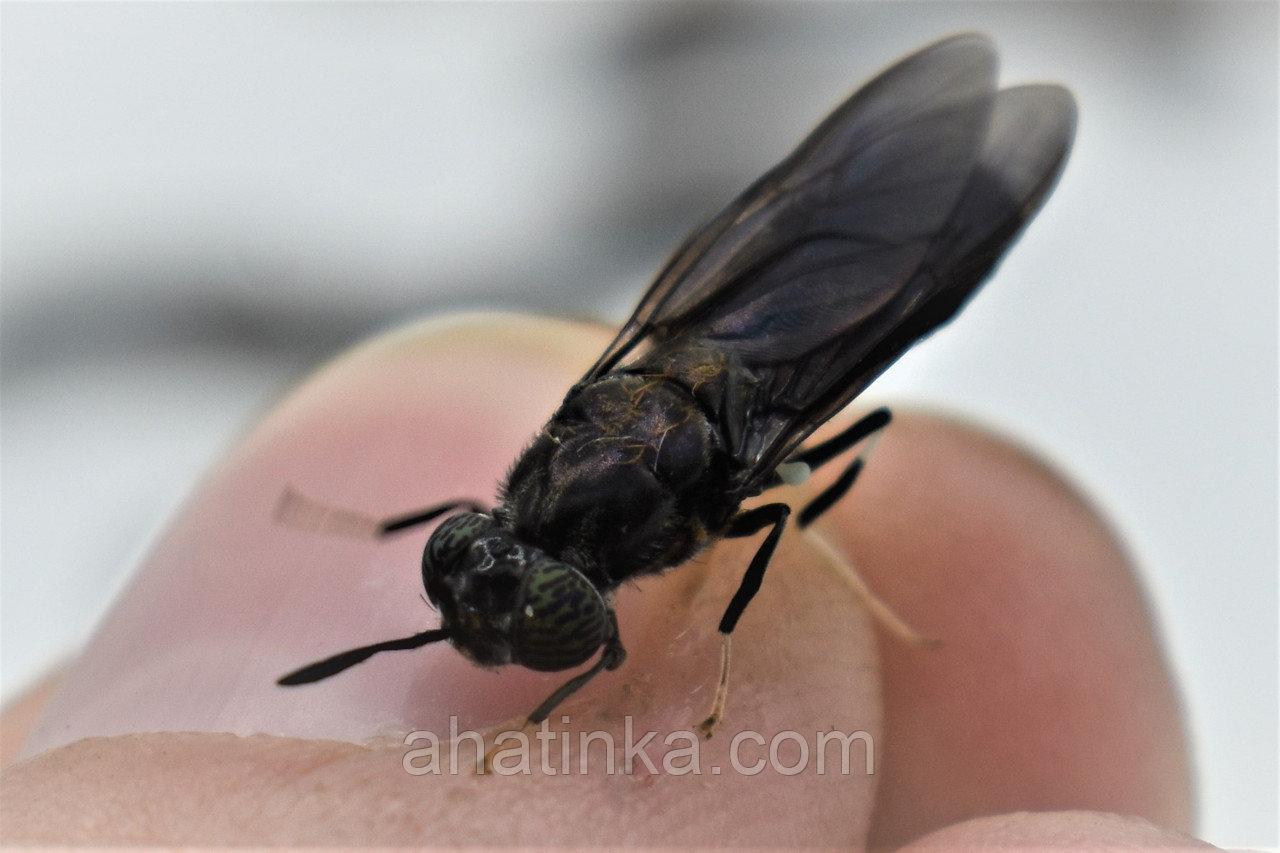 Чёрная львинка black soldier fly