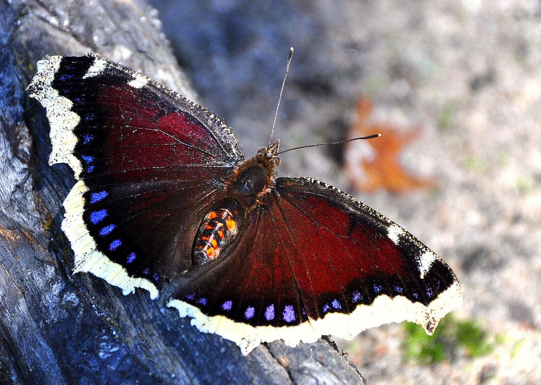 Бабочка сова: фото и образ жизни сумеречного мотылька