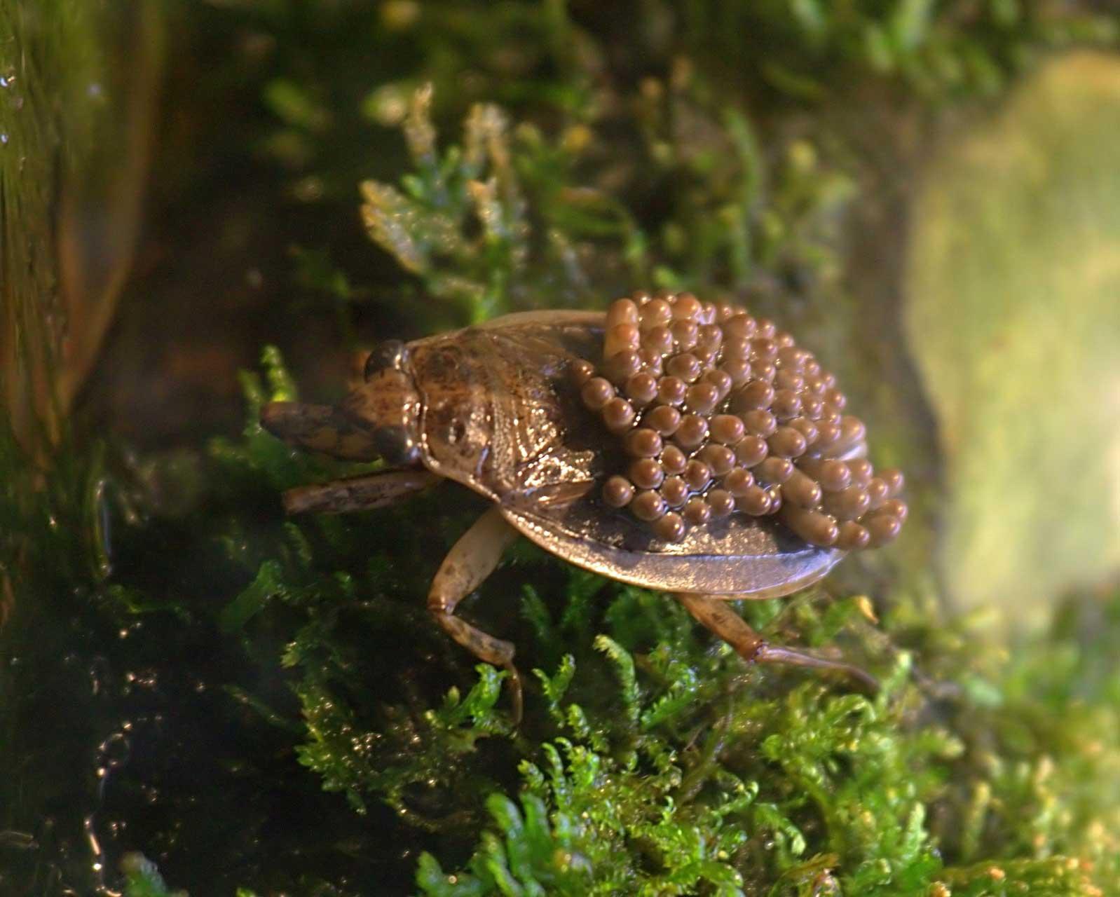 Водяной клоп - как выглядит и места обитания насекомого