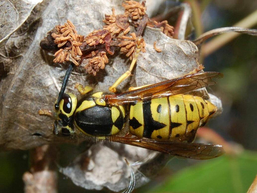 Сколько живут осы – открываем секреты насекомых