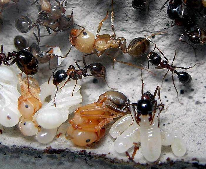 Королева муравьев. как выглядит матка муравьев
